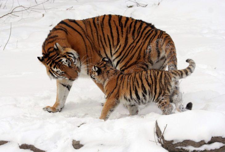 mamá tigre e hijo