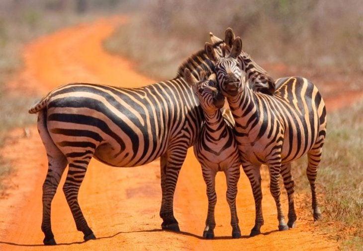 familia de zebra