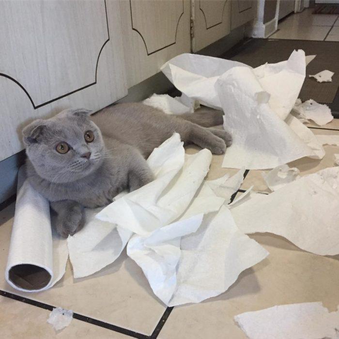 gato gris destruye servilletas de papel