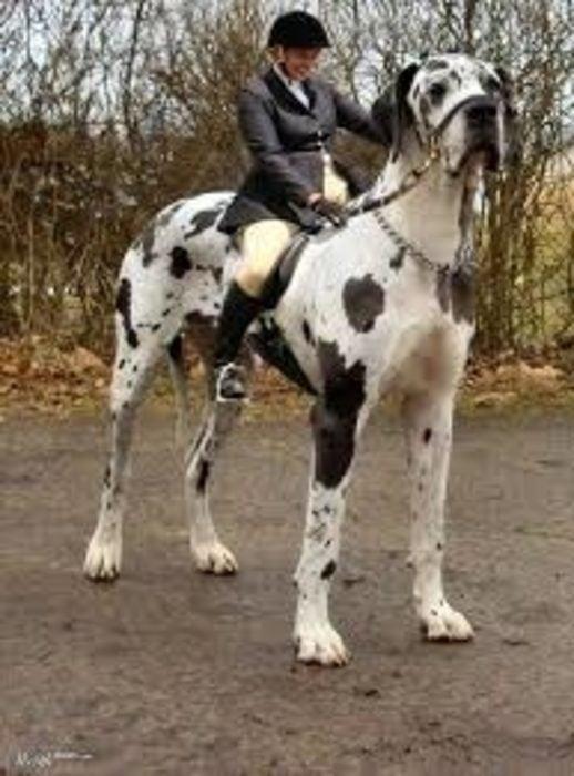 20 perros gigantes caballo 1