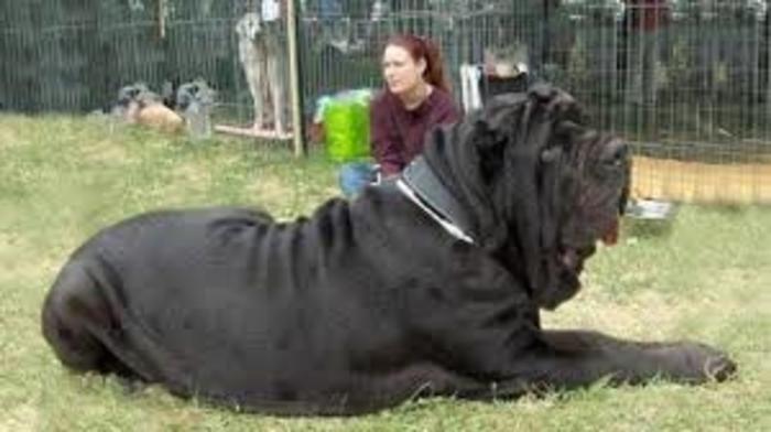 20 perros gigantes grandes dimensiones
