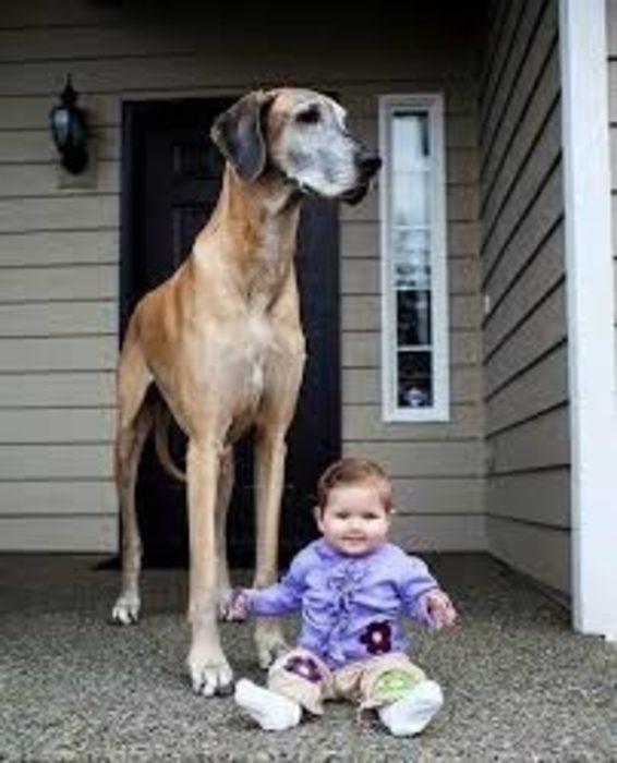 20 perros gigantes la mejor niñera