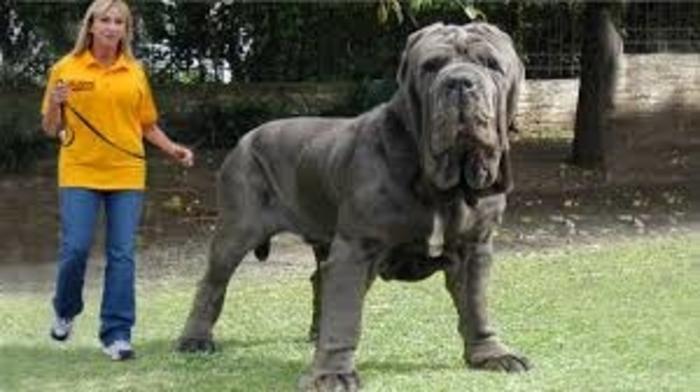 20 perros gigantes paseo