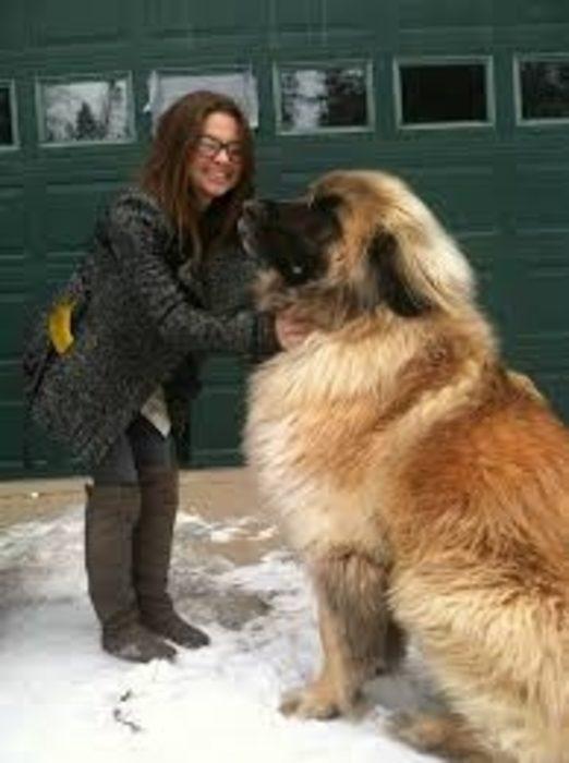 20 perros gigantes quien lo quiere