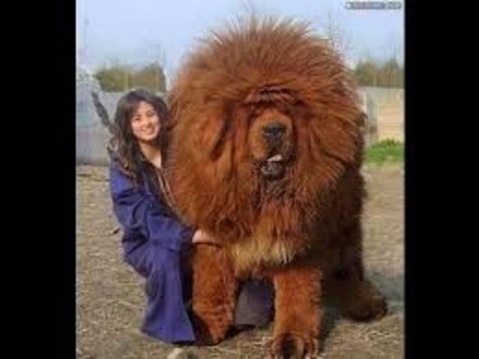 20 perros gigantes rey de la cuadra