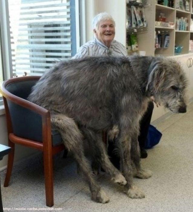 20 perros gigantes su propia silla