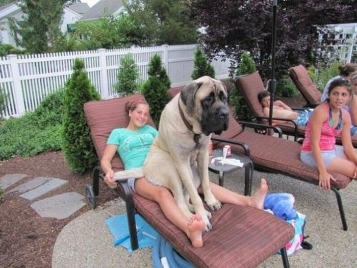 20 perros gigantes un buen guarura