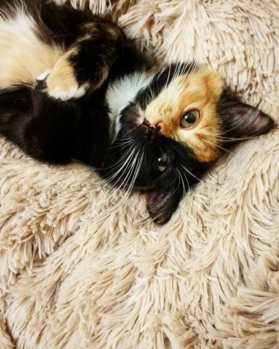 gata quimera en una alfombra