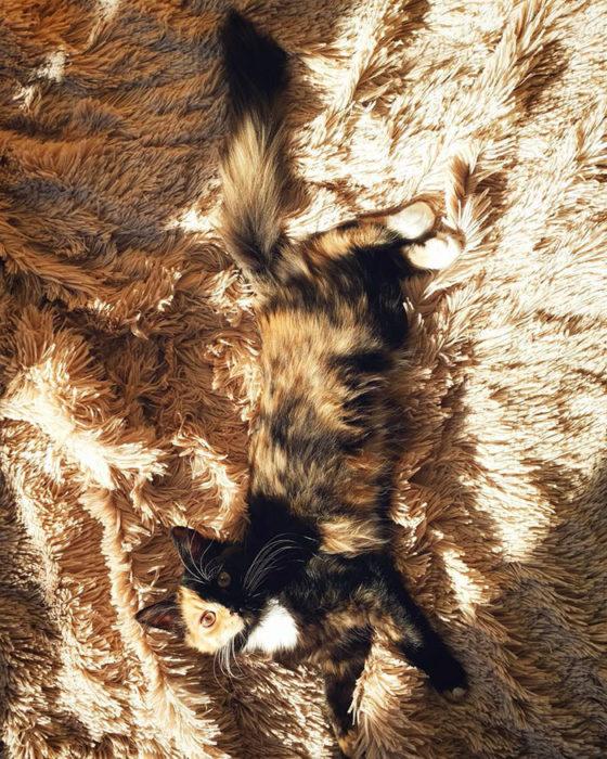 gata quimera recostada en una alfombra