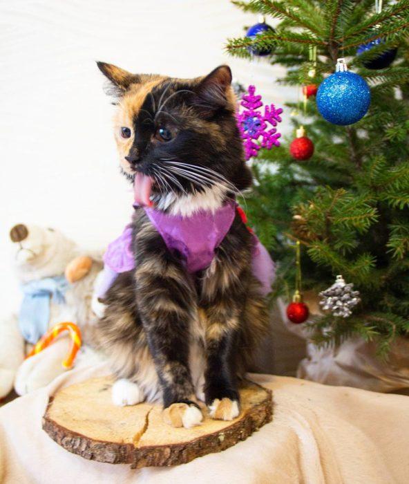 gata quimera frente a un árbol de navidad