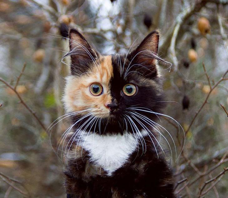 rostro de gata quimera