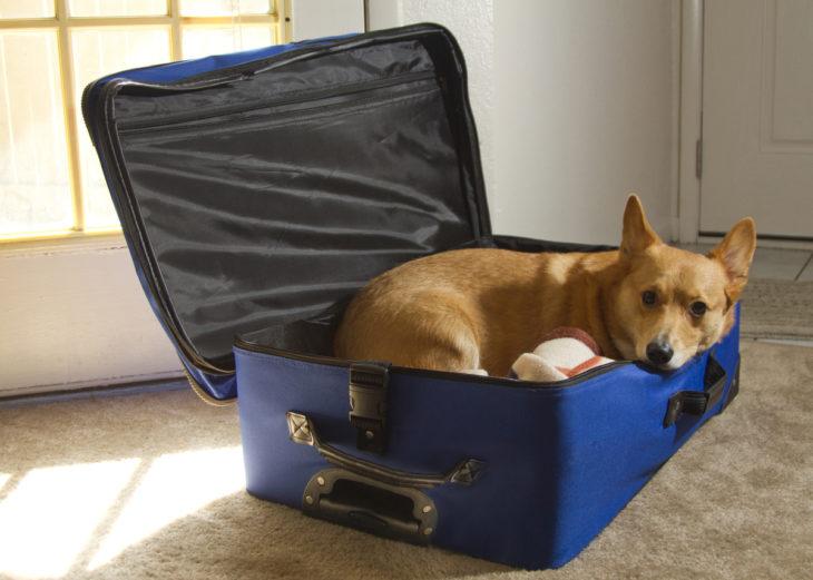 Perro corgi adentro de maleta