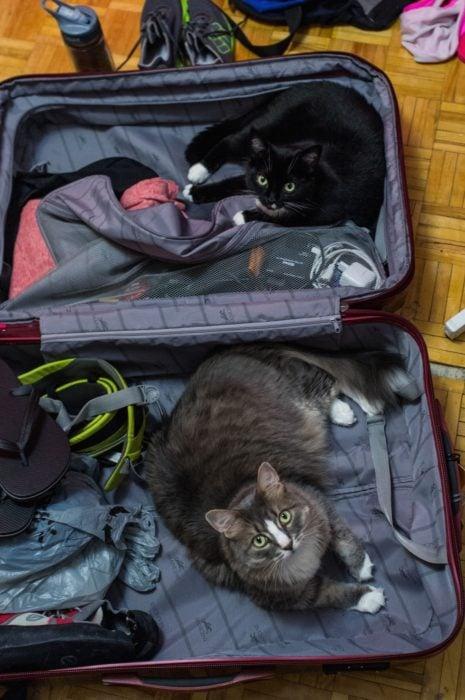 gato gris acostado en la maleta