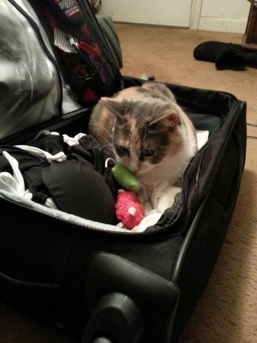 gato blanco con cafe acostado adentro de uan maleta
