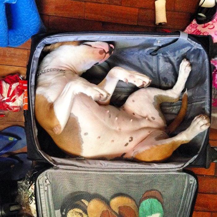 perro dormido adentro de la maleta