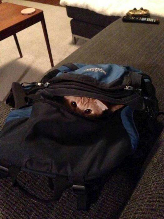 gato escondido adentro de la maleta