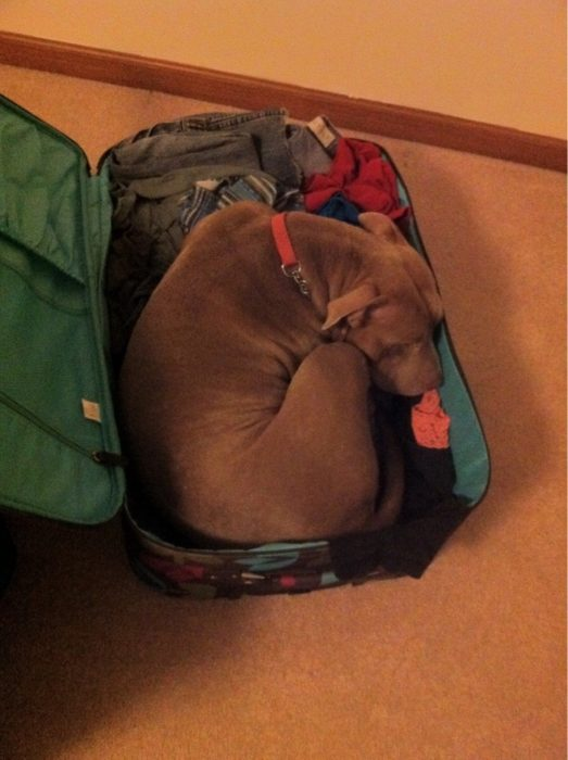Perro acurrucado en maleta