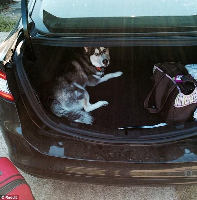 Husky adentro de cajuela de carro