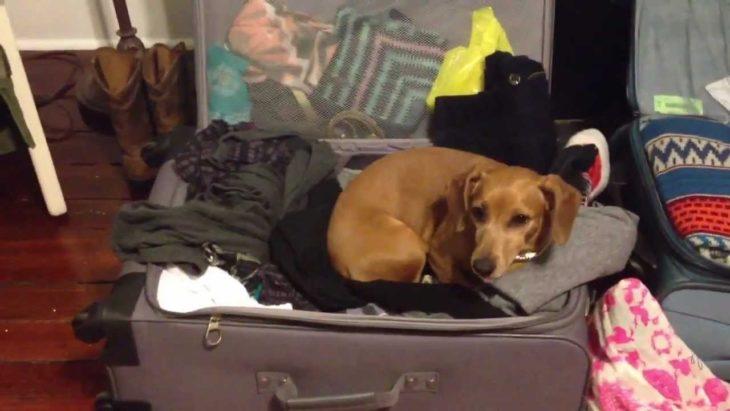 Perro salchicha acostado en una maleta