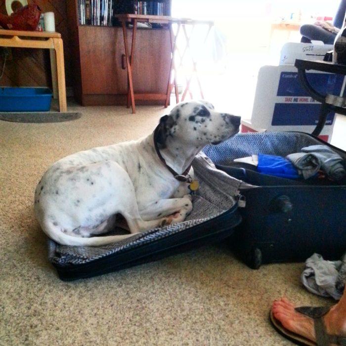 Dalmata acostado en maleta