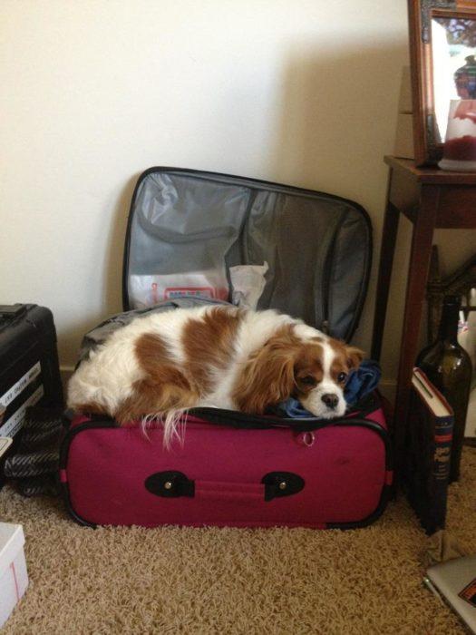 Spaniel acostado en la maleta