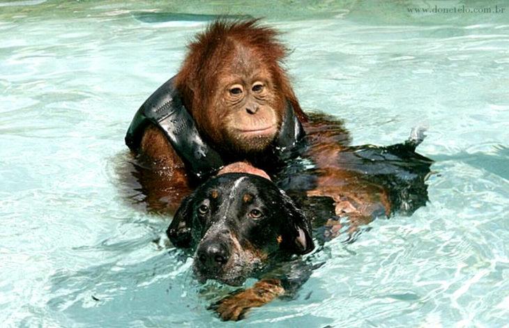 orangutan y perrito nadando
