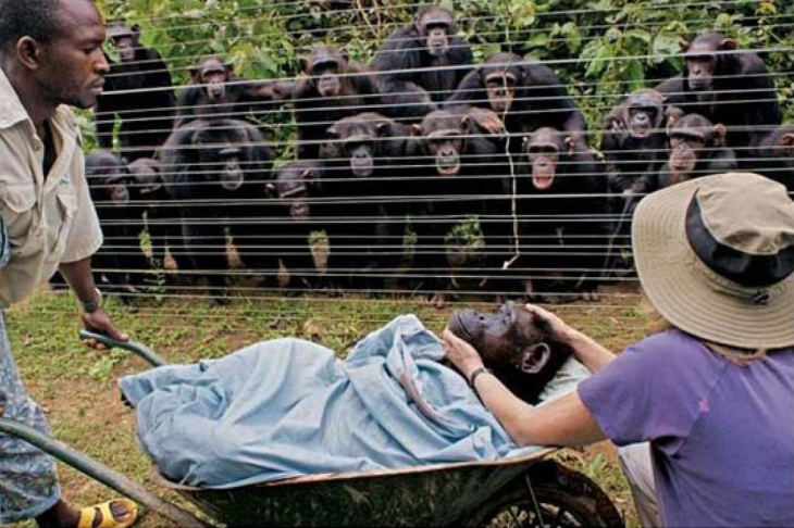 chimpances miran a otro chimpance que está enfermo