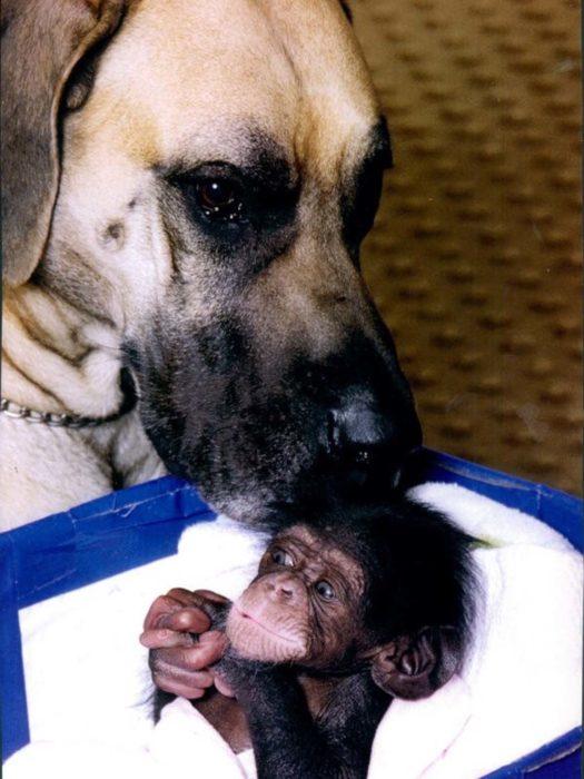 gran danes chimpances