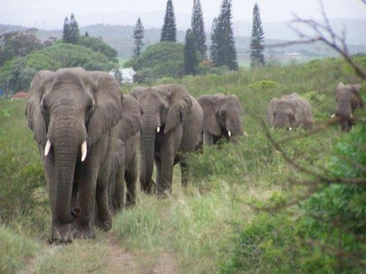 elefantes marchan