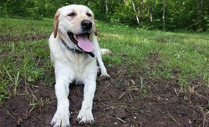 perro labrador acostado