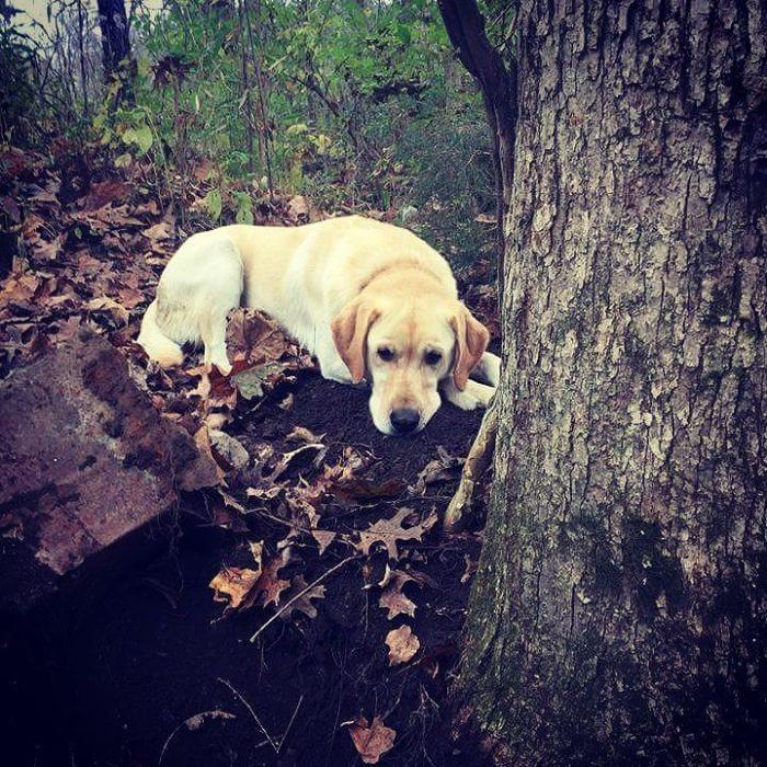 perro labrador acostado abajo del arbol