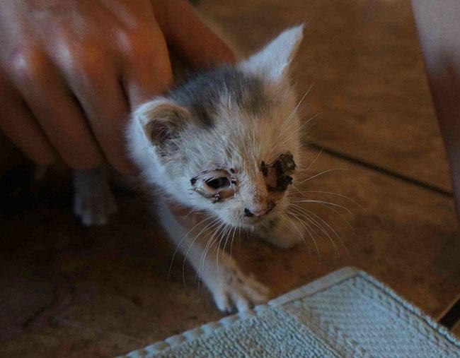 gatito bebé con pulgas