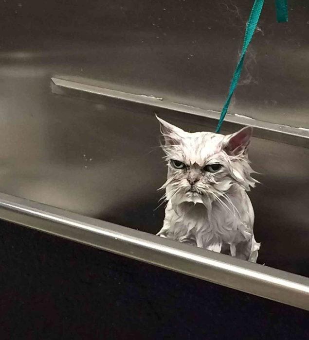 Gato mojado enojado