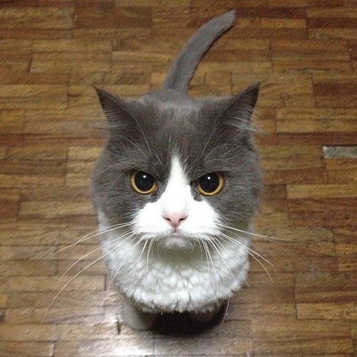 Hermoso gato enojado