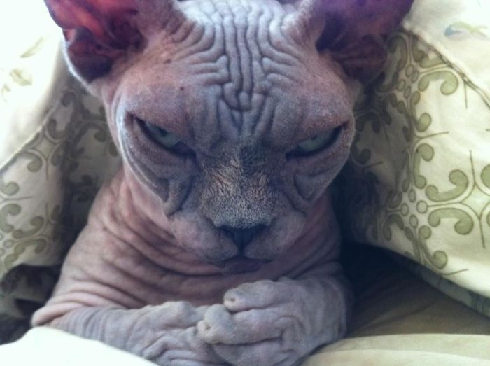 Gato arrugado enojado