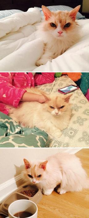 Gato blanco enojado