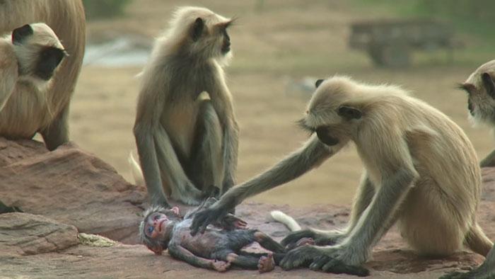 monos duelo robot