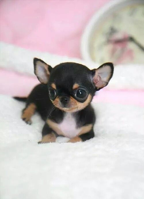 Perritos tiernos miniatura