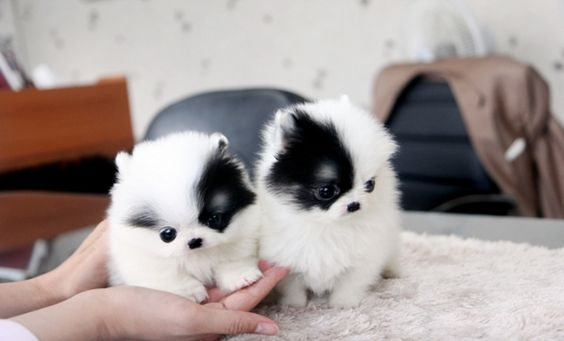 pomeranian puppies for sale in texas cheap los 20 perritos m 225 s tiernos y peque 241 os que jam 225 s hayas visto 1845