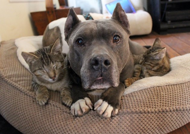 un pitbull y dos gatos