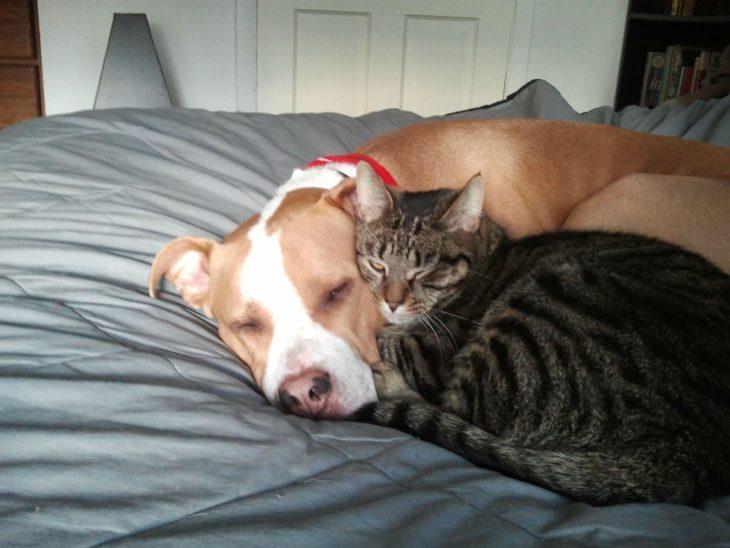 Pitbull y gato dormidos juntos en la cama