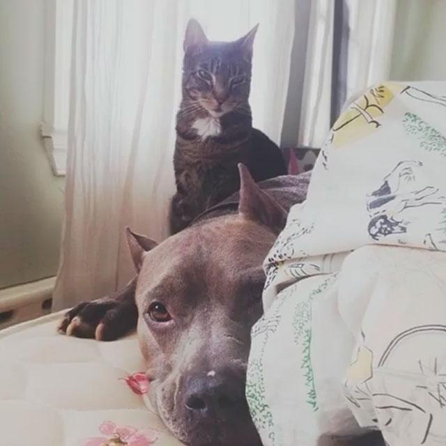 Pitbull tierno gato imponente