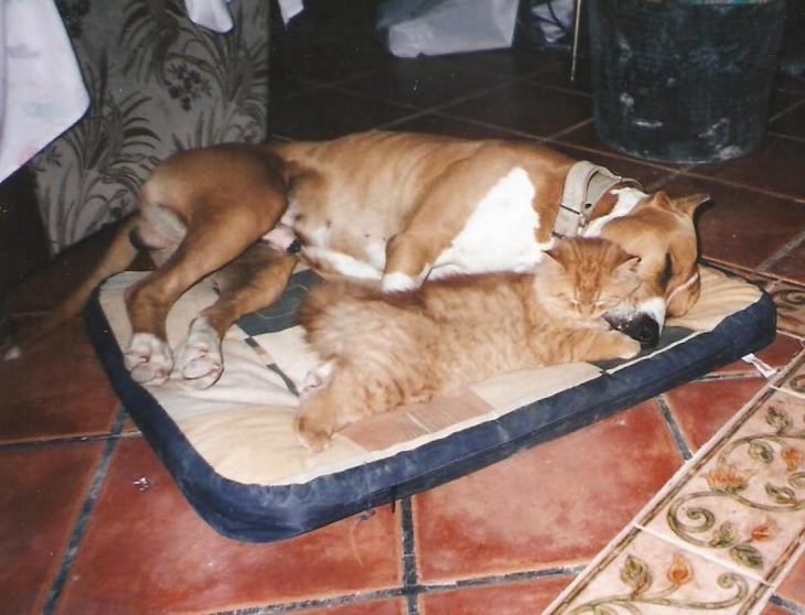 Pitbull y gato dormidos abrazados