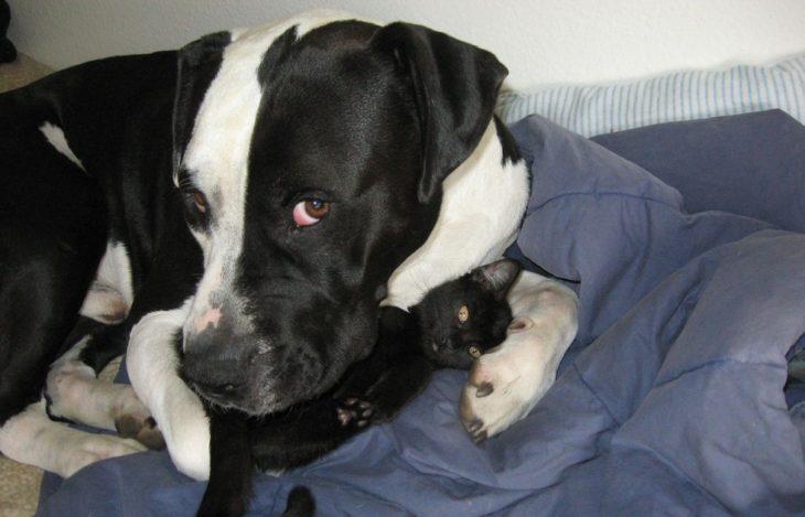 Pitbull blanco con negro y gato negro