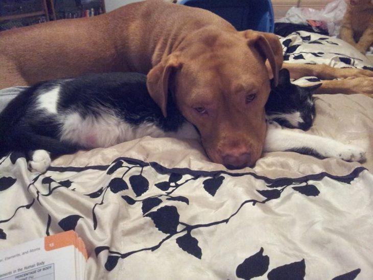 pitbull y gato acurrucados en la cama