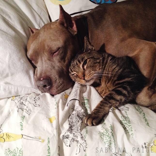 toman la siesta pitbull y gato