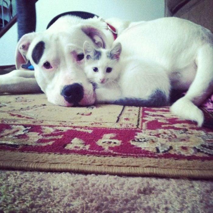 pitbull y gato miran a la camara