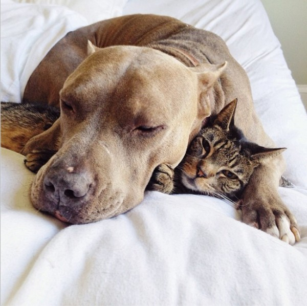 pibull y gato dormidos juntos tierno
