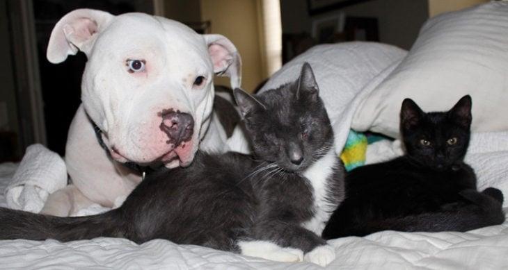 pitbull blanco con negro y gato negro con blanco