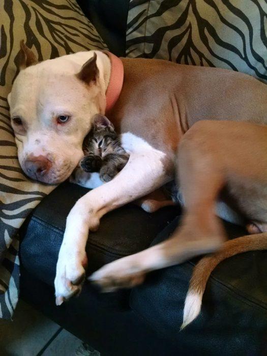 pitbull abrazando a gatito